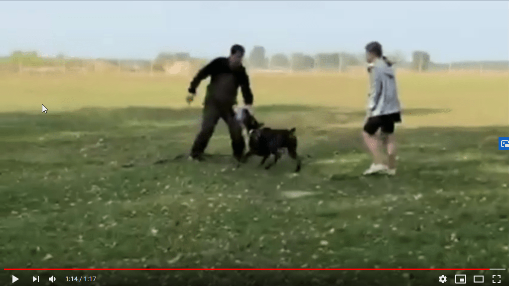 Video of protection training Smart Wood Hills Storm Mufasa (Asterix del Nasi x SWH Kenya) — 8 months