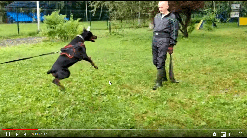 First protection training video Smart Wood Hills Serenada (Asterix del Nasi x Smart Wood Hills Kenya) 7 months