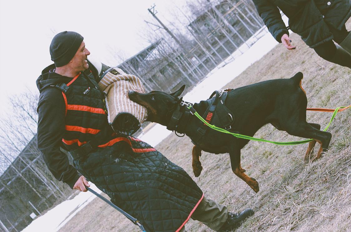 Protection training Smart Wood Hills Storm Mufasa (Asterix del Nasi x SWH Kenya) — 14 months