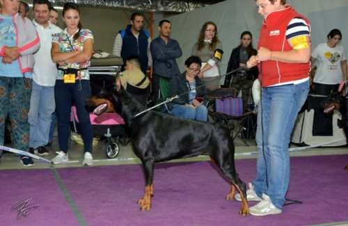 Special Dobermann Show Club Winner , Moscow (Russia)