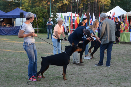 "Europa Club Winner ""Golden Dobermann"" and IDC-2018"