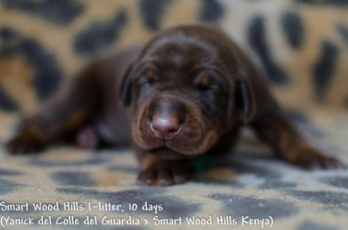 Puppies 10 days. Smart Wood Hills I-litter (YANICK DEL COLLE DELLA GUARDIA x SWH Kenya)