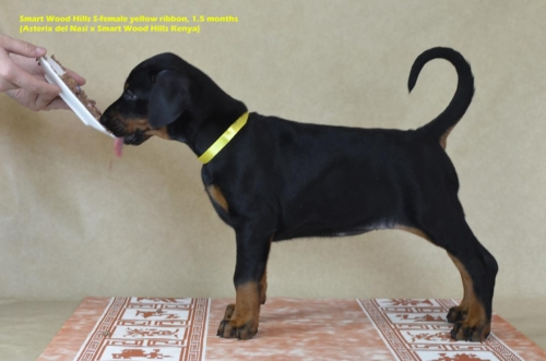 Puppies 1,5 month. Smart Wood Hills S-litter (Asterix del Nasi x SWH Kenya)