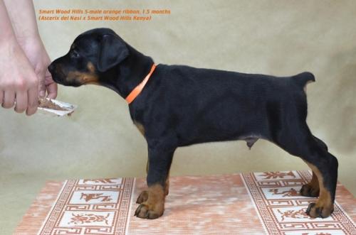 Кобель оранжевый/ Orange male