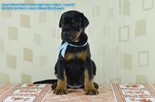 Puppies 1 month. Smart Wood Hills S-litter (Asterix del Nasi x SWH Kenya)