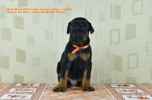 Кобель оранжевыйMale orange